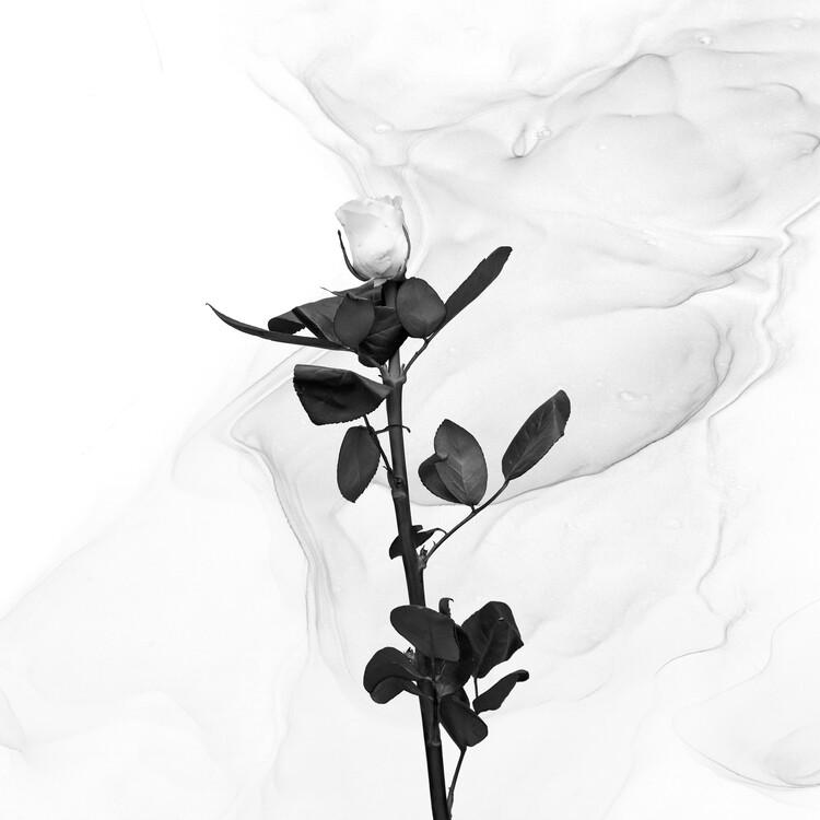 Art Photography White Rose   Liquid Art