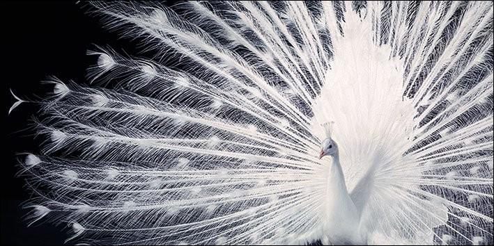 Impressão artística Peacock - Tim Flach