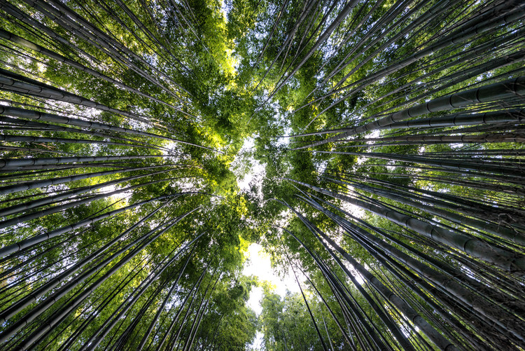 Arte Fotográfica Exclusiva Bamboo Forest II