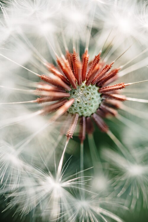 Arte Fotográfica Exclusiva Dandelion detail