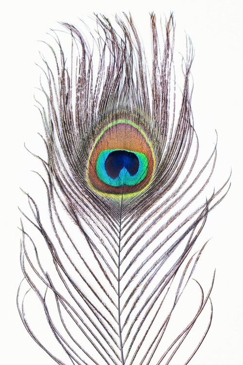 Arte Fotográfica Exclusiva Peacock feather