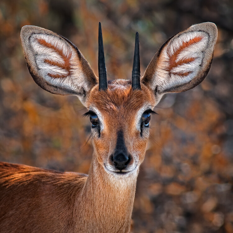 Arte Fotográfica Exclusiva Steenbok, one of the smallest antelope in the world