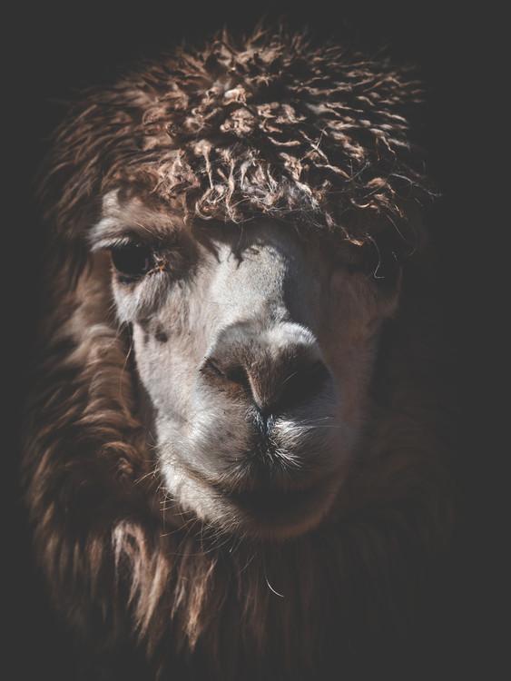 Arte Fotográfica Exclusiva alpaca2