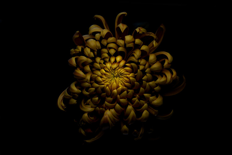 Arte Fotográfica Exclusiva Chrysanthemum