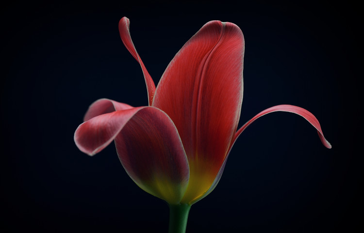 Arte Fotográfica Exclusiva First Tulip