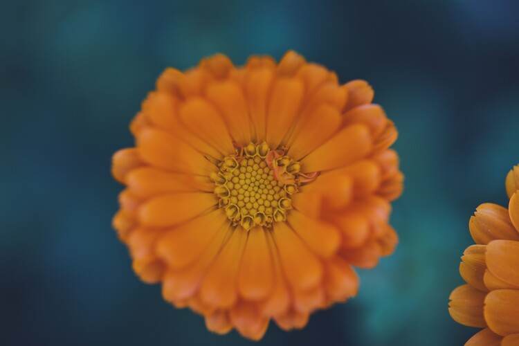 Arte Fotográfica Exclusiva Orange flowers at dusk 1