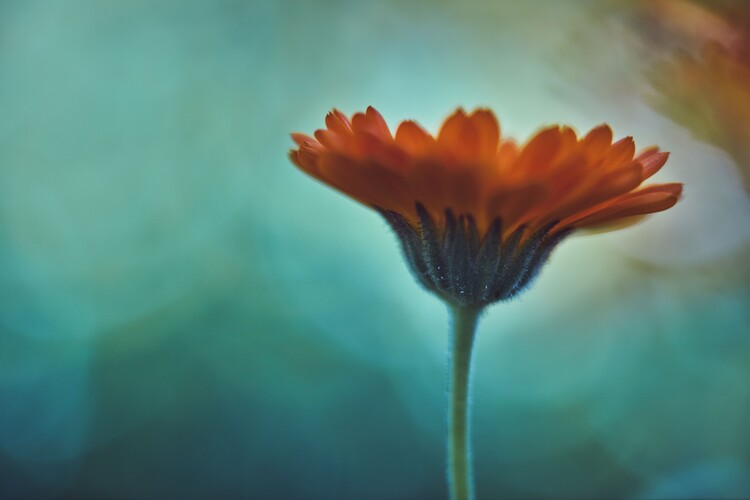 Arte Fotográfica Exclusiva Orange flowers at dusk