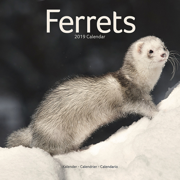 Calendar 2019  Ferrets