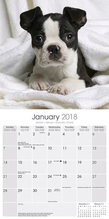 Calendário 2019  Boston Terrier