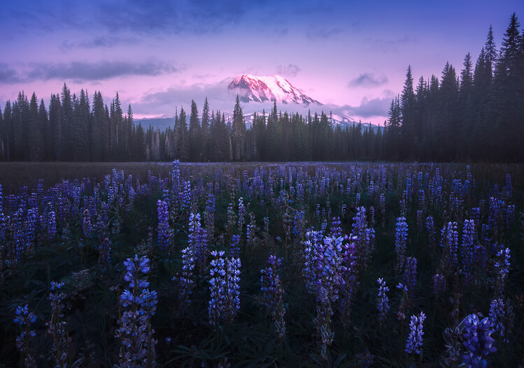 Adam's Lupine Canvas Print