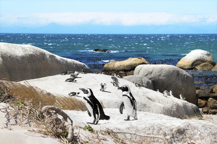 Canvas Print African Penguins