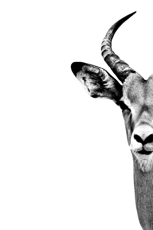 Canvas Print Antelope Face White Edition