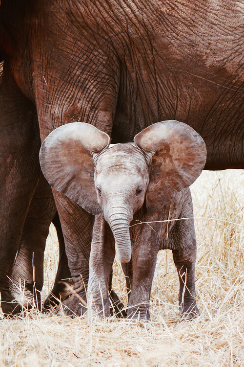 Canvas Print Baby Elephant