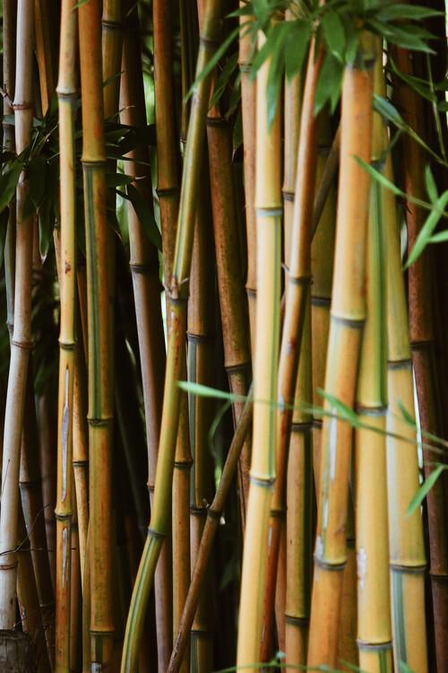 Canvas Print Bamboo wall
