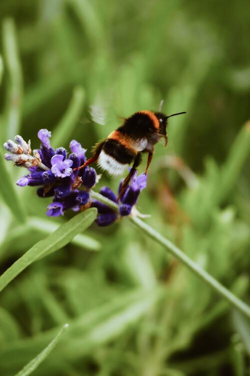 Bee buzzing Canvas Print