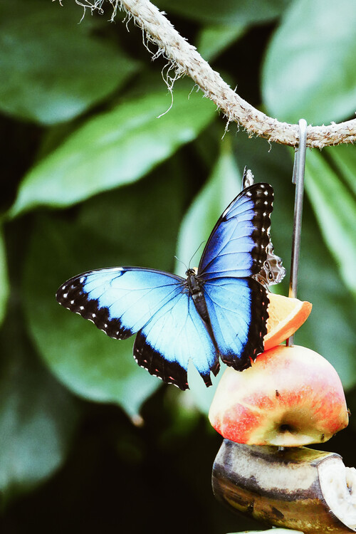 Canvas Print Blue Butterfly