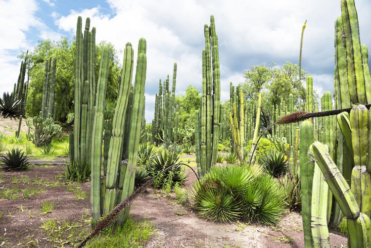 Canvas Print Cardon Cactus