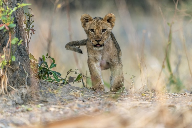 Canvas Print Cub - South Luangwa