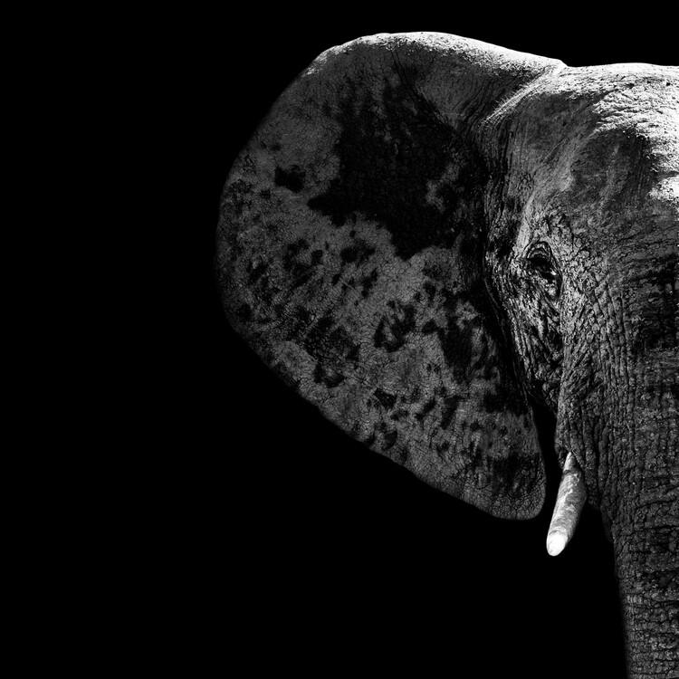 Elephant Portrait Black Edition Canvas Print
