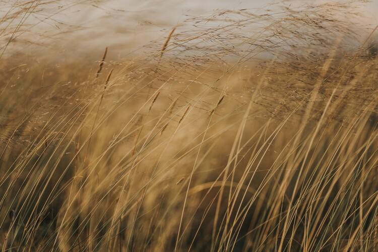Canvas Print Field at golden hour