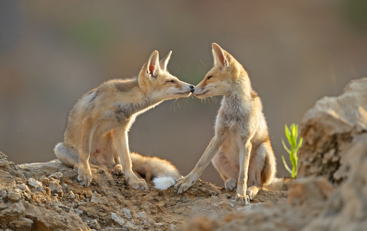 Canvas Print Foxes , Kiss