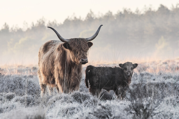 Canvas Print Highlander and Calf