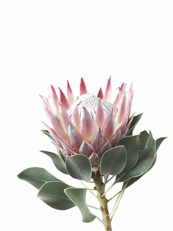 Canvas Print King Protea