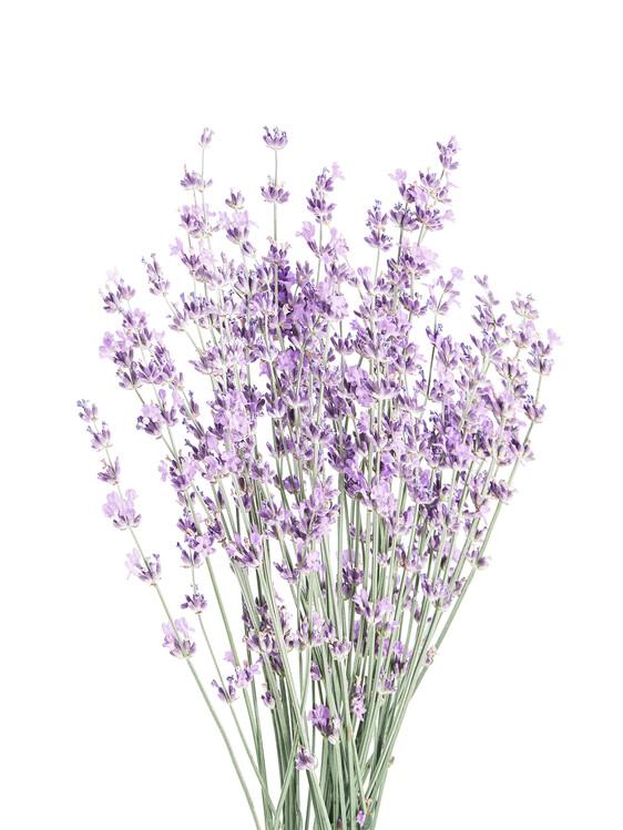 Canvas Print Lavender