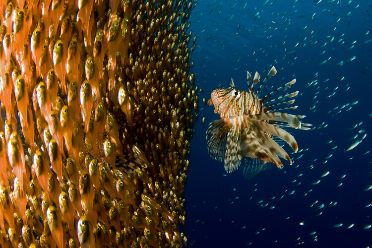Canvas Print Lion fish staring at its lunch