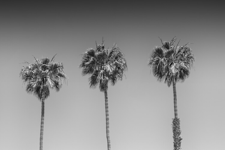 Minimalistic Palm Trees Canvas Print