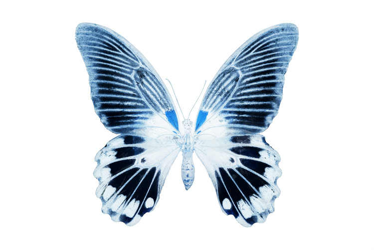 Canvas Print MISS BUTTERFLY AGENOR - X-RAY White Edition