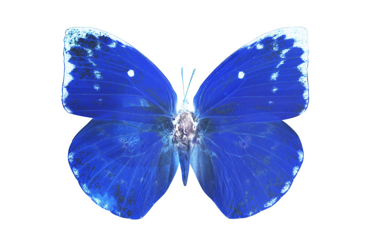 Canvas Print MISS BUTTERFLY CATOPSILIA - X-RAY White Edition