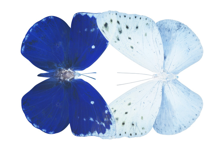 Canvas Print MISS BUTTERFLY DUO CATOPLOEA - X-RAY White Edition