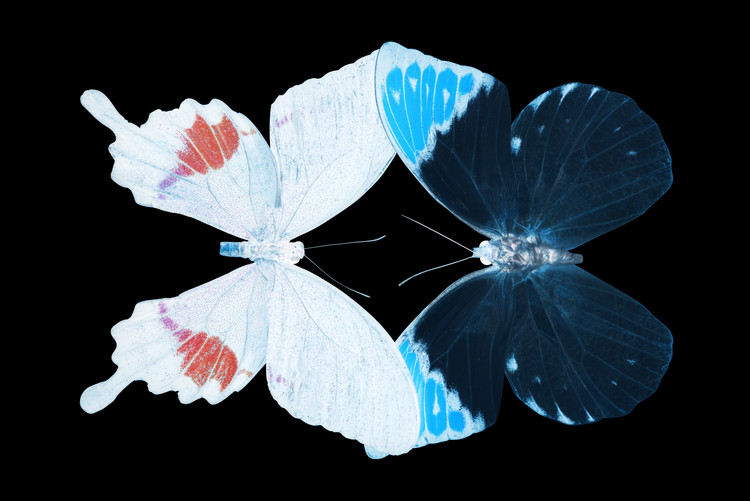 Canvas Print MISS BUTTERFLY DUO HERMOSANA - X-RAY Black Edition