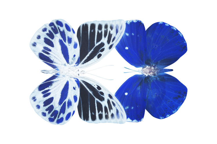 Canvas Print MISS BUTTERFLY DUO PRIOPOMIA - X-RAY White Edition