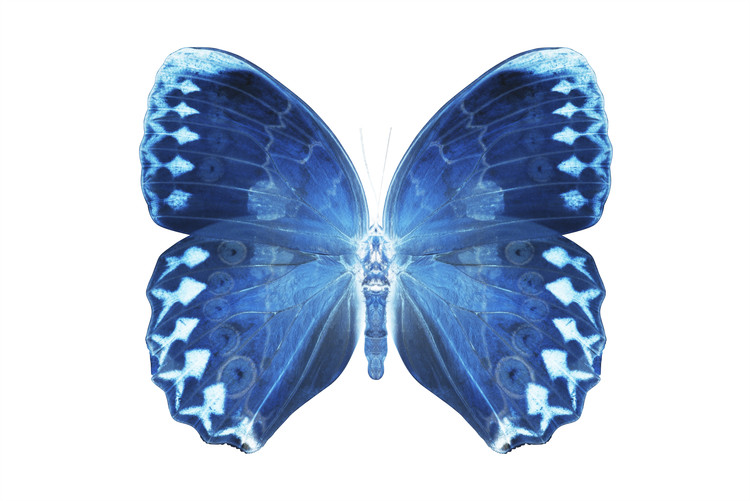 Canvas Print MISS BUTTERFLY FORMOSANA - X-RAY White Edition