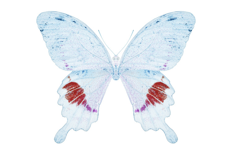 Canvas Print MISS BUTTERFLY HERMOSANUS - X-RAY White Edition