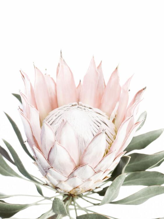 Canvas Print Pink Protea