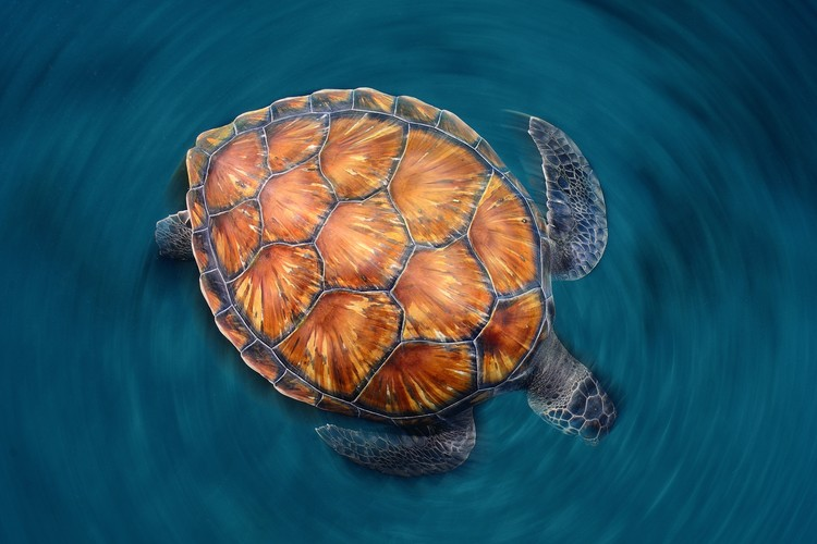 Canvas Print Spin Turtle