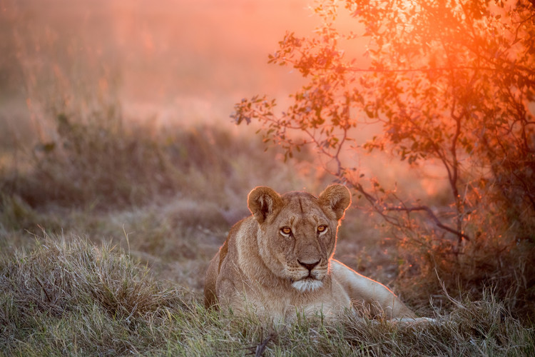 Sunset Lioness Canvas Print