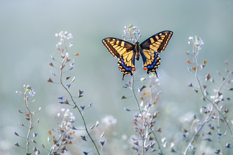 Canvas Print Swallowtail beauty