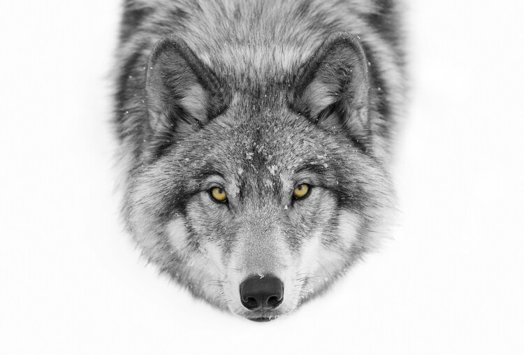 Yellow eyes - Timber Wolf Canvas Print