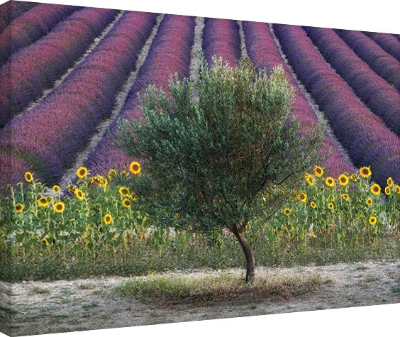 Canvas-taulu David Clapp - Olive Tree in Provence, France