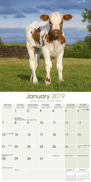 2022 Cow Calendar.Cows Wall Calendars 2022 Large Selection