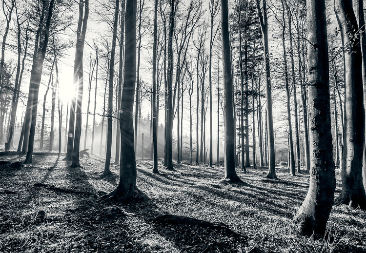 Papel de parede  Forest - Black and white