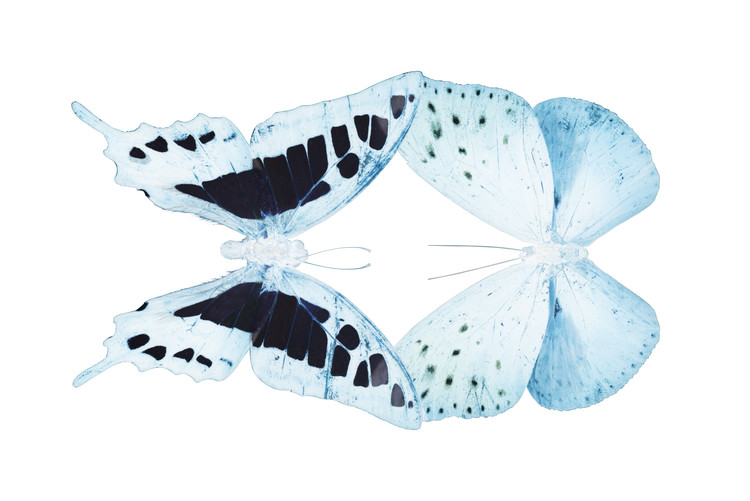 Papel de parede MISS BUTTERFLY DUO CLOANTHAEA - X-RAY White Edition