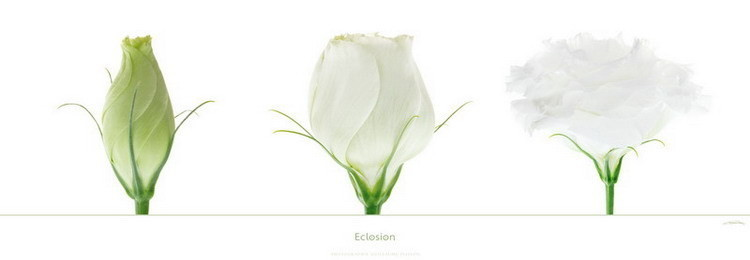 Eclosion Reproduction d'art