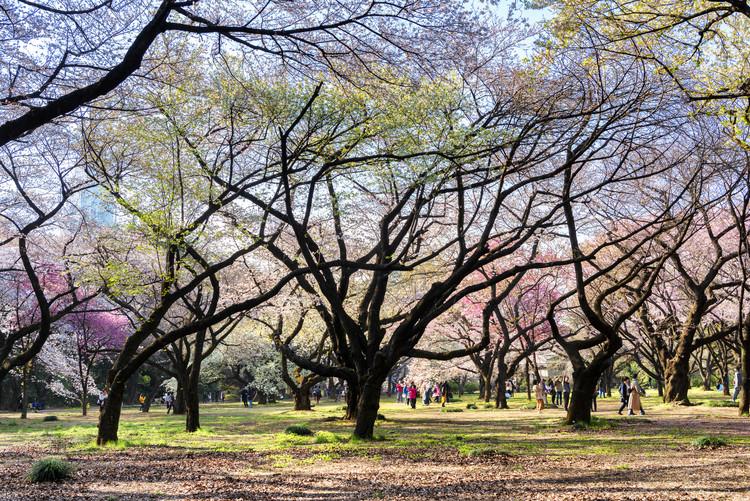 Eksklusiiviset taidevalokuvat Beautiful Sakura Trees