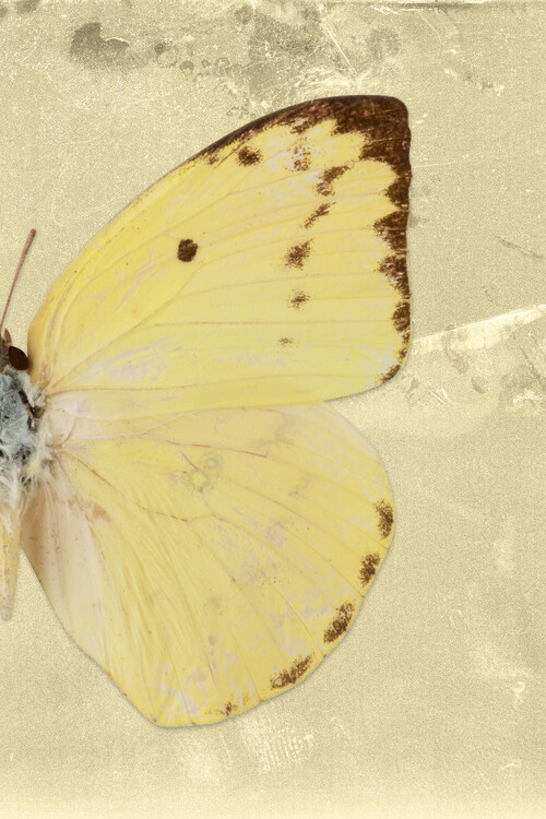 Eksklusiiviset taidevalokuvat CATOPSILIA PROFIL - GOLD