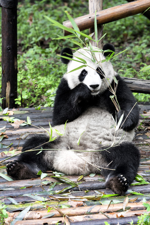 Eksklusiiviset taidevalokuvat China 10MKm2 Collection - Giant Panda
